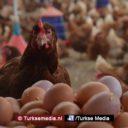 Europese landen vragen Turkije om eieren na fipronil-schandaal