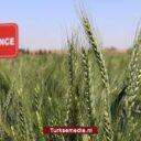Stille revolutie: Turkije ontwikkelt nieuwe eigen tarwezaden